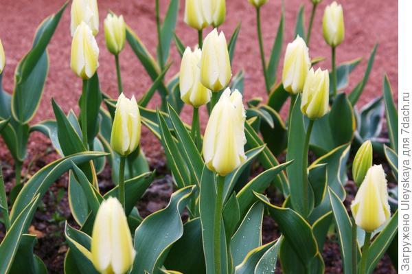 Тюльпан садовый, сорт Purissima Design в бутонизации, фото автора