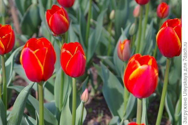 Тюльпан садовый, сорт Worlds Favorite, фото автора