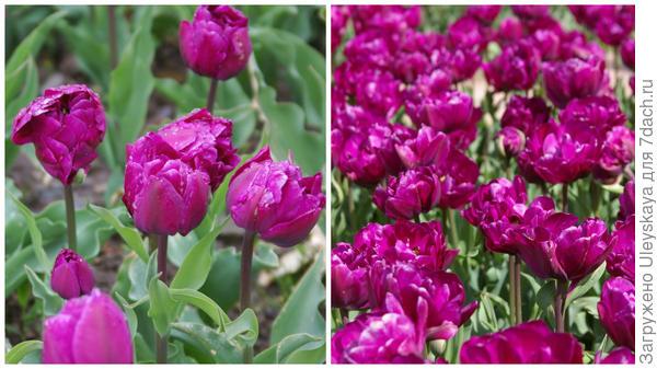 Тюльпан садовый, сорт Blue Wow, фото автора