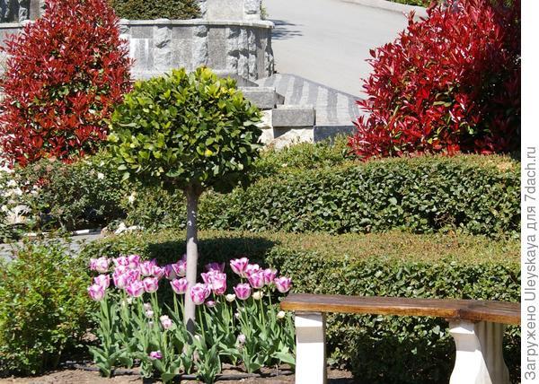Розовые тюльпаны у штамбового деревца