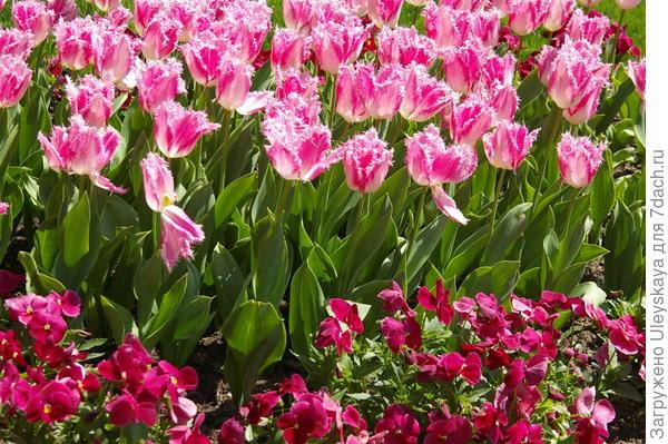 Розовые тюльпаны с фиалкой Виттрока