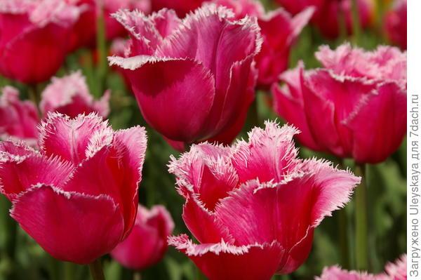 Тюльпан садовый сорт Madison Garden