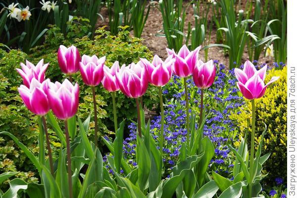 Розовые тюльпаны с незабудками