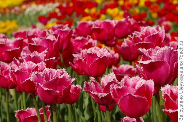 Тюльпан садовый сорт Madison Garden в Никите