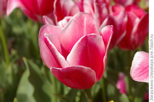 Тюльпан садовый сорт Orlenda