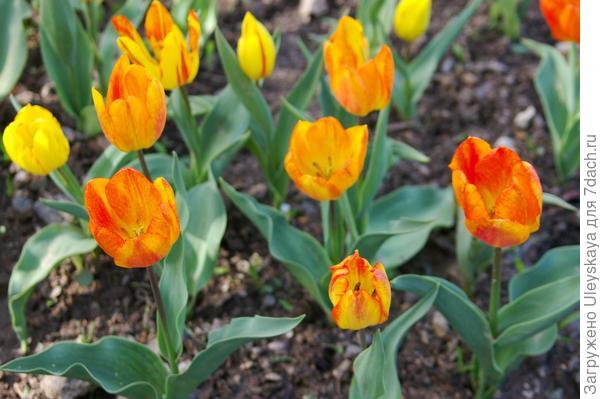 Тюльпан садовый сорт General de Wet, фото автора