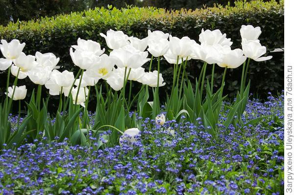 Тюльпан садовый сорта Cooper Image с незабудками, фото автора