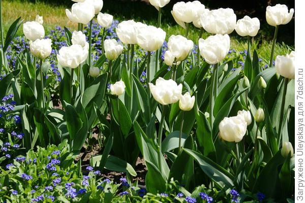 Цветет тюльпан сорта Cooper Image из садового класса Махровые Поздние, фото автора