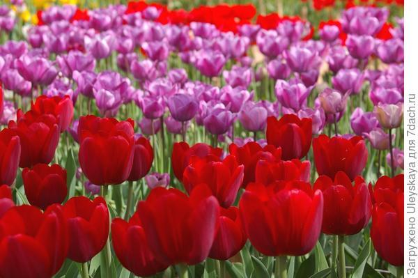 Такая тюльпанная феерия - мечта дачника, фото автора