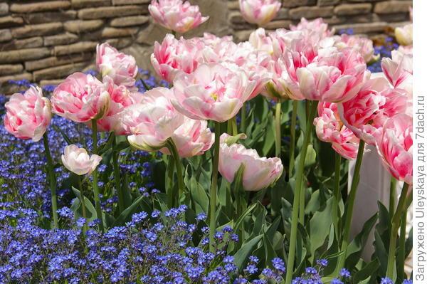 Тюльпан садовый сорта Angelique с незабудками, фото автора