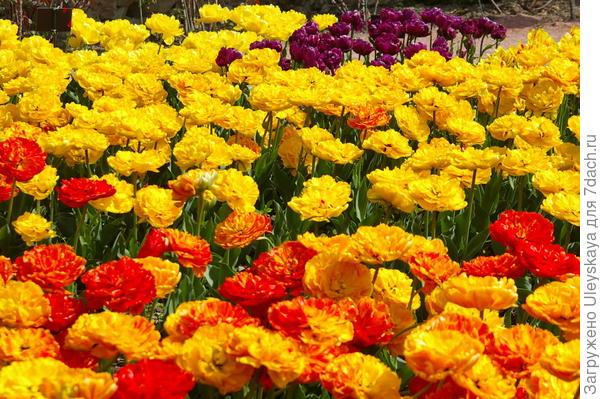 Цветут тюльпаны из семьи Monte, фото автора