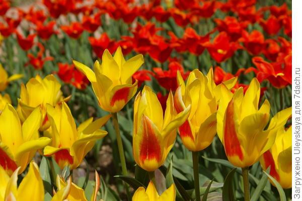 На переднем плане тюльпаны сорта Flaming Bayside, за ними сорт Ballade Orange, оба из класса Лилиецветных, фото автора