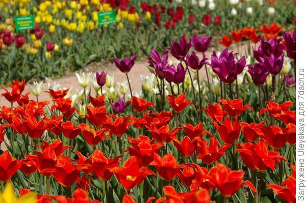 На переднем плане тюльпаны сорта Ballade Orange, за ними сорт Burgundy, оба из класса Лилиецветных, фото автора