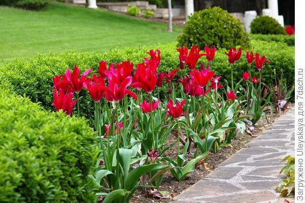 Цветут тюльпаны сорта Hollywood, фото автора