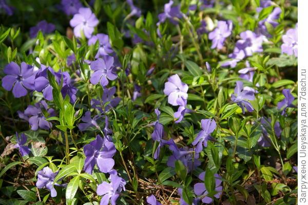 Цветет барвинок малый, фото автора