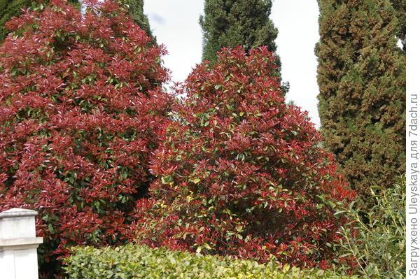 К цветению готова фотиния Фразери (Photinia x fraseri) сорт Red Robin