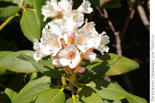 Начало цветения рододендронов, фото автора
