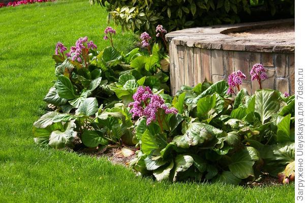 Цветет бадан толстолистный, фото автора