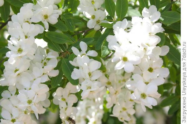 Цветет экзохорда Королькова, фото автора