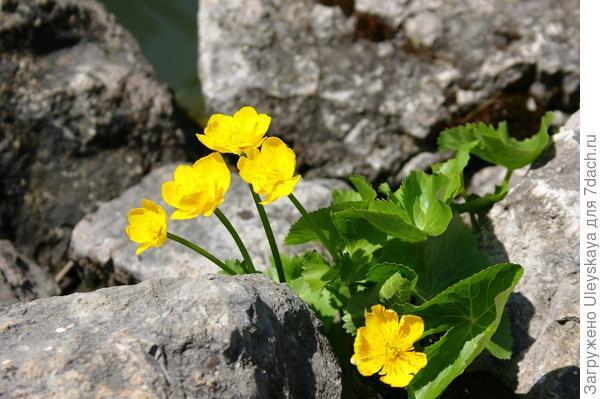 Цветет калужница болотная, фото автора