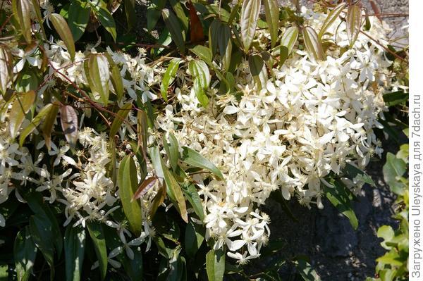 Цветет клематис Арманда, фото автора