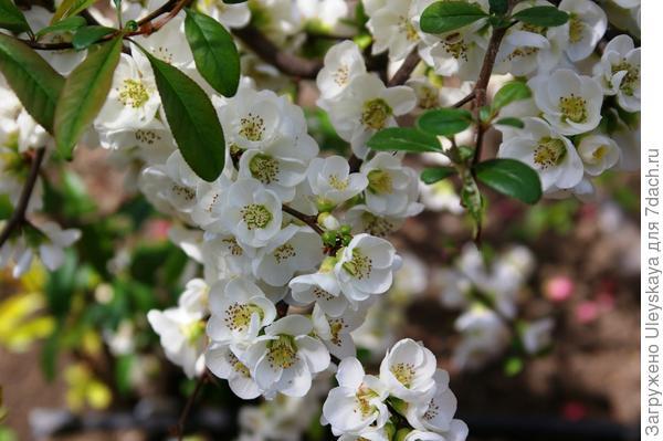 Белыми цветками цветет хеномелес прекрасный, сорт Nivalis, фото автора