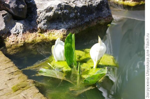 Цветет белокрыльник болотный, фото автора
