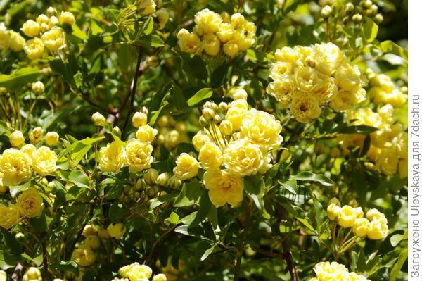 Цветет роза Бэнкса Желтая в Гурзуфе, фото автора