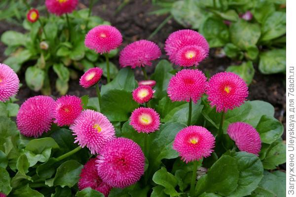 Цветут маргаритки, фото автора