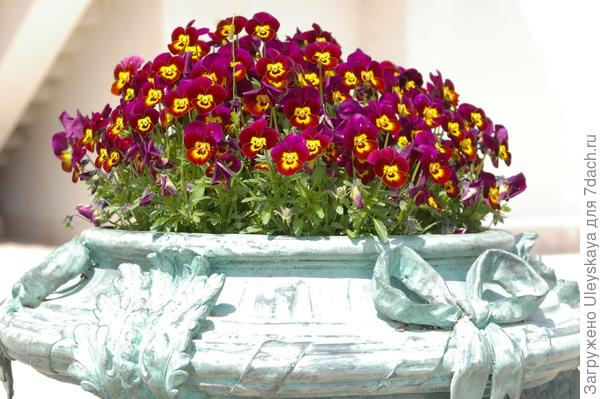 Цветение виолы, фото автора