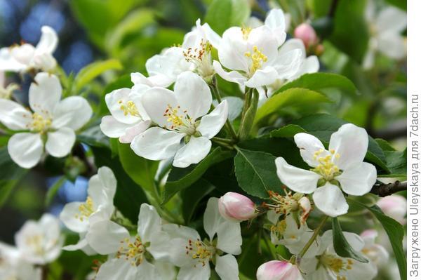 Люблю, когда приходит пора цветения яблонь, фото автора