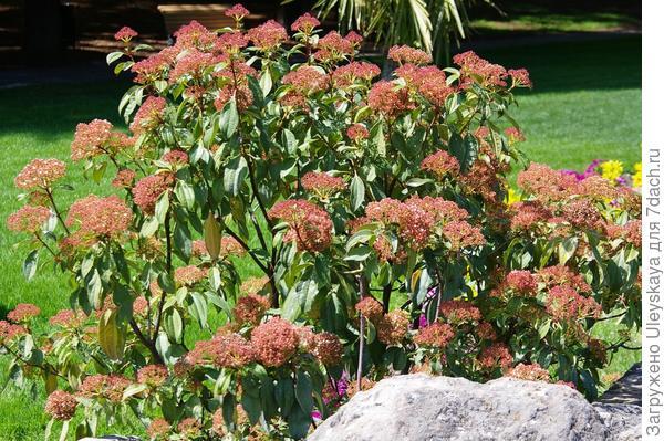 Цветет калина коричниковолистная, фото автора