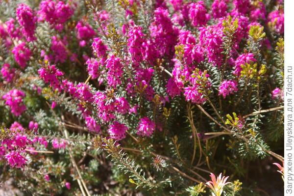 Цветет эрика, фото автора