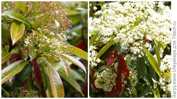 Начало цветения фотинии пильчатой сегодня и фрагмент массового цветения прошлой весной, фото автора