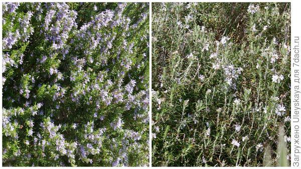 Цветет розмарин лекарственный, справа его ампельная форма, фото автора