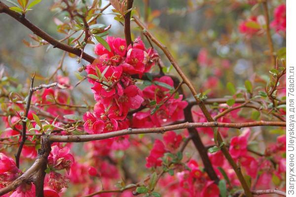 Цветет хеномелес японский, фото автора