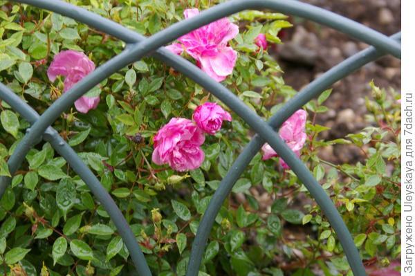 Цветет роза Рулетти, фото автора