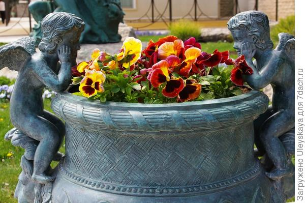 Виола в садовой вазе, фото автора