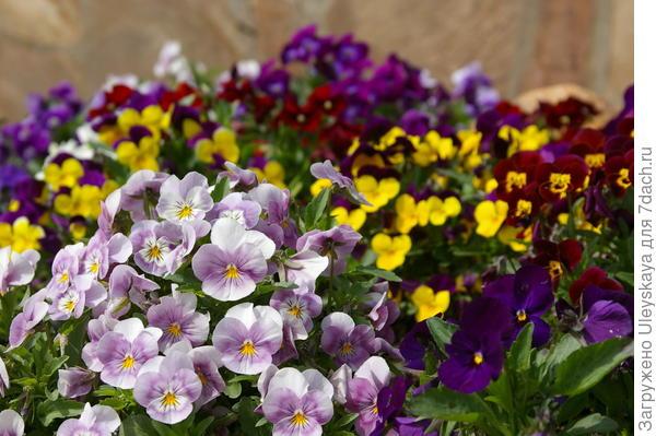 Цветет фиалка Виттрока, фото автора