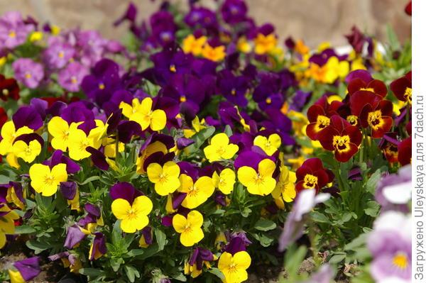 Цветение фиалки Виттрока или виолы, фото автора