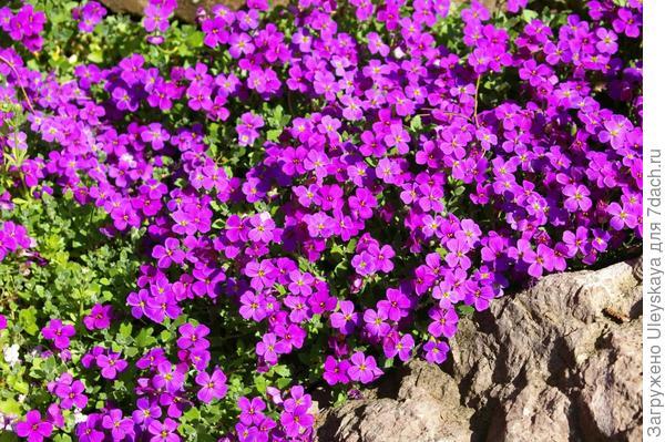 Цветет обриета дельтовидная - любительница солнечных сухих мест, фото автора