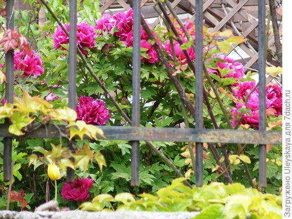 Цветет пион древовидный, фото автора