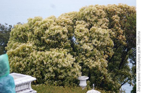 Фотиния пильчатая, цветущее дерево, фото автора