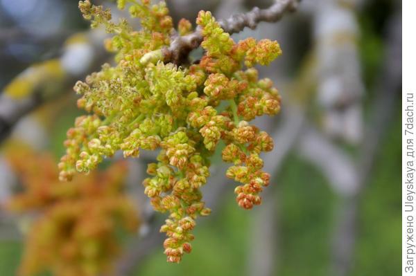 Цветет фисташка туполистная, фото автора