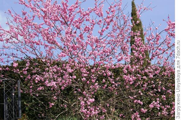 Цветет декоративный персик в Никите, фото автора
