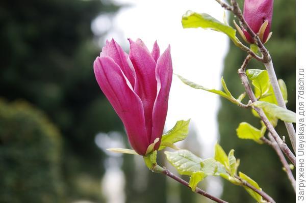 Цветет магнолия лилиецветная, фото автора