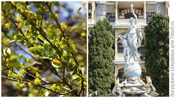 Цветет жестер вечнозеленый недалеко возле фонтана Ночь, фонтан Ночь, Гурзуф, фото автора
