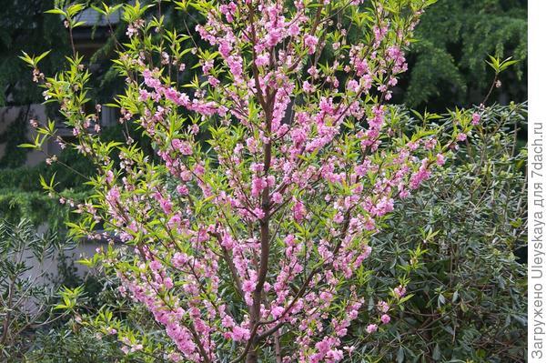 Цветет декоративный персик в Партените, фото автора