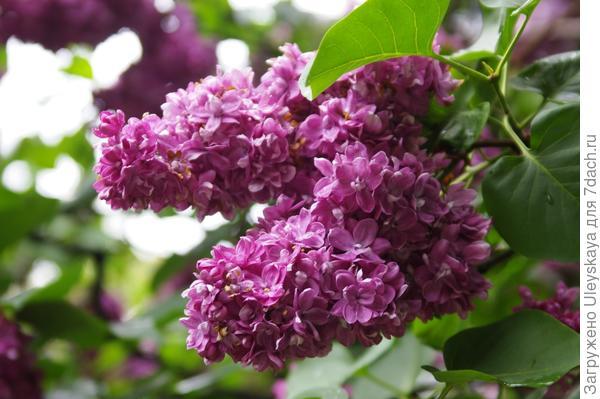 Цветет сирень обыкновенная, фото автора