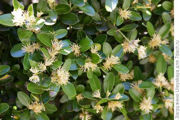 Цветет самшит балеарский, фото автора